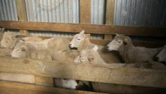 Sheep drafting in wool shed Stock Footage