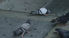 Pigeon walking on sidewalk grating in street in New York City, slow motion 4K Stock Footage