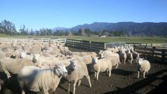Flock of sheep being mustered into farm yard Stock Footage