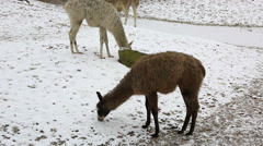Group of llamas feeding in winter Stock Footage