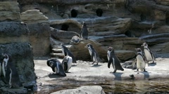 Penguins at Sunny Pond - 06 Stock Footage