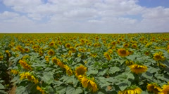 Sunflower field   pan - stock footage
