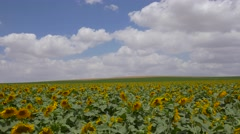 Sunflower field. - pan shot Stock Footage