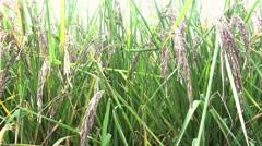 Organic Thai rice berry farm in Thailand, 4K Stock Footage