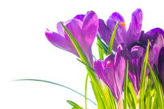 First spring flowers - bouquet of purple crocuses - stock photo