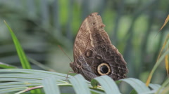 A snake eye owl butterfly sitting on a leaf Stock Footage