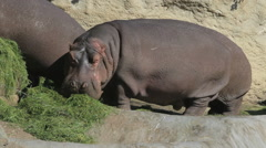 Hippos on the land out of the water Stock Footage