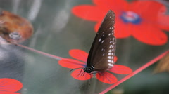 Big butterfly is sitting on a fake flower - stock footage