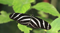 Zebra long wing butterfly sitting on a green leaf Stock Footage