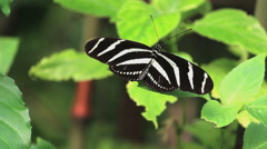 Zebra long wing butterfly sitting on a green leaf - stock footage