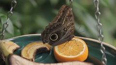 A snake eye butterfly eating an orange  Stock Footage
