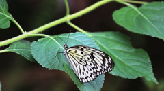 Big black and white butterfly sitting on a green leaf Stock Footage