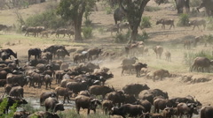 African buffalo herd, safari, Kruger National Park, South Africa Stock Footage