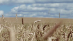 Wheat spikes in the field. Pan shot Stock Footage