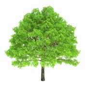 Deciduous tree isolated on white background - stock illustration
