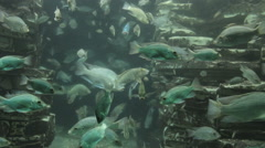 Tropical fish swimming in a huge aquarium in the zoo Stock Footage