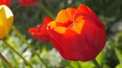 Beautiful red tulip plants in the garden natural 4K 2160p UltraHD slow pan fo Stock Footage