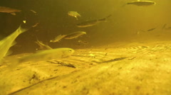 Lot of fish under water eat bread bait on bottom of the river Stock Footage