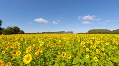 Walking along a sunflower field on a summerday - stock footage