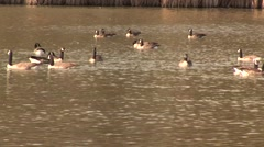 Ducks swimming in a pond Stock Footage