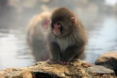 Snow monkeys, macaque bathing in hot spring, Nagano prefecture, Japan Stock Photos
