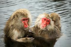 Snow monkeys, macaque bathing in hot spring, Nagano prefecture, Japan - stock photo