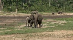 Forest Elephant herd in bai in Central African Republic 3 Stock Footage