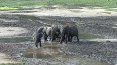 Forest Elephant herd in bai in Central African Republic 6 Stock Footage