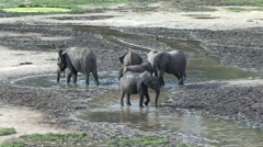 Forest Elephant looking for minerals in water in bai in Central African Repub Stock Footage