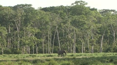 Forest Elephant male in bai in Central African Republic Stock Footage