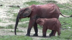 Forest Elephant mother and baby covered in red mud in bai in Central African Stock Footage