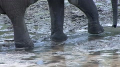 Forest Elephant walk in bai in Central African Republic 2 Stock Footage