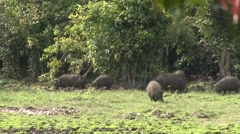 Giant Hog family feeding in bai in Central African Republic 1 - stock footage