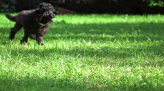 Little Poodle  puppy running in park, slow motion - stock footage