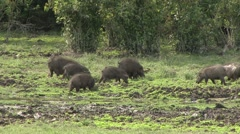 Giant Hog family feeding in bai in Central African Republic 8 - stock footage