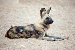 Hyena being alert Stock Photos