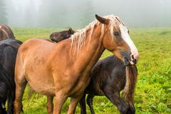 Brown chestnut horse with white mane - stock photo
