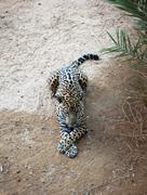 Leopard resting - stock photo
