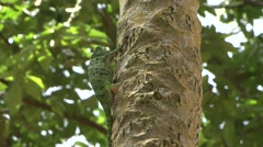 Graceful Chameleon climbing tree in the rainforests of Central African Repub Stock Footage