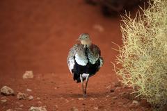 Arabian Buff-Crested Bustard bird Stock Photos