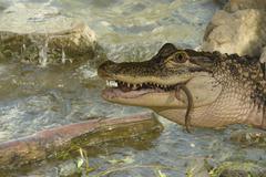 Alligator feeding - stock photo
