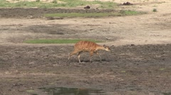 Sitatunga in bai in Central African Republic 2 Stock Footage