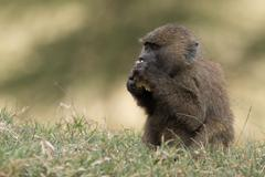 Baby baboon in grass eating with paws Stock Photos