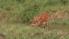 Sitatunga running over bai in Central African Republic 4 Stock Footage