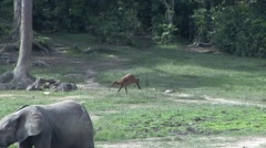 Sitatunga running over bai in Central African Republic 1 Stock Footage
