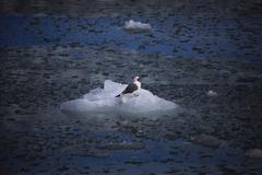 Stock Photo of Cute arctic bird resting on a small iceberg. Svalbard, Norway