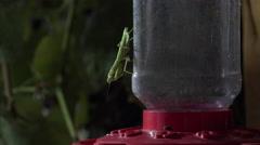 Praying Mantis Behaviors - Captures and Eats Fly Stock Footage