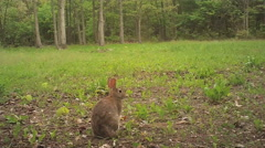 Cottontail Rabbit Stock Footage