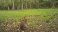 Stock Video Footage of Cottontail Rabbit