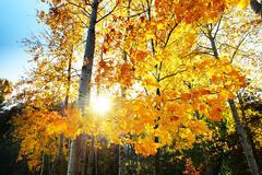 The maple trees in fall colors in Mezhigirya, in Novi Petrivtsi, Ukraine. It Stock Photos